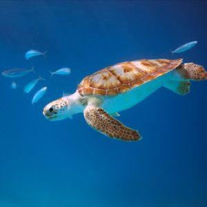 zwem met een schildpad barbados